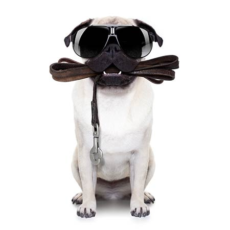 Pug with Sunglasses and Leash